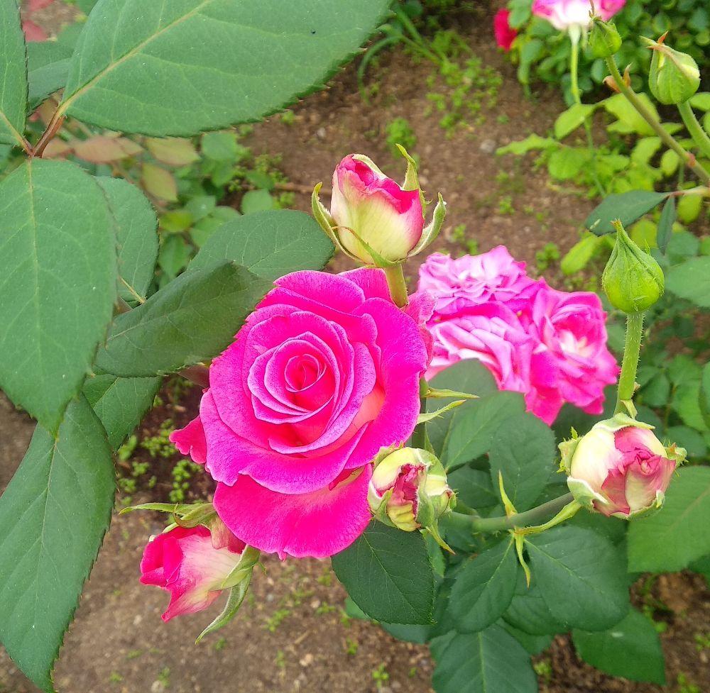 сказать, что роза утро москвы фото и описание отзывы кто-то будет спорить