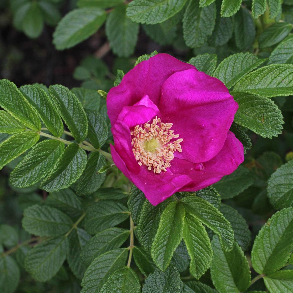 морщинистые розы фото два глаза, видимо